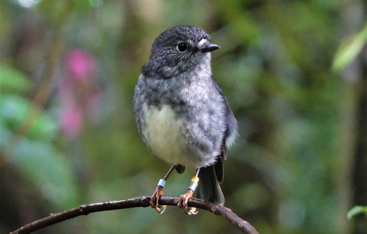North Island Robin or toutouwai at Ark in the Park