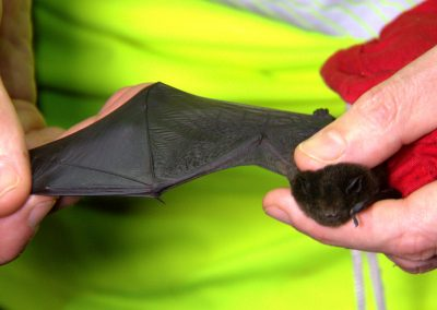 Outstretched bat wing