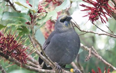 Biodiversity update: Kōkako in Pureora