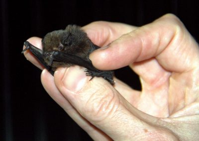 Bat held by researcher